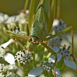 Orthoptera (Grasshoppers)
