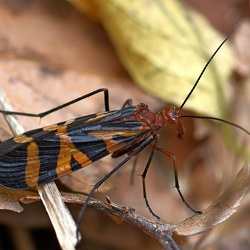 Mecoptera (Scorpionflies)
